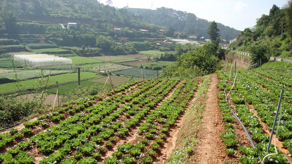 DaLat vegetable farms