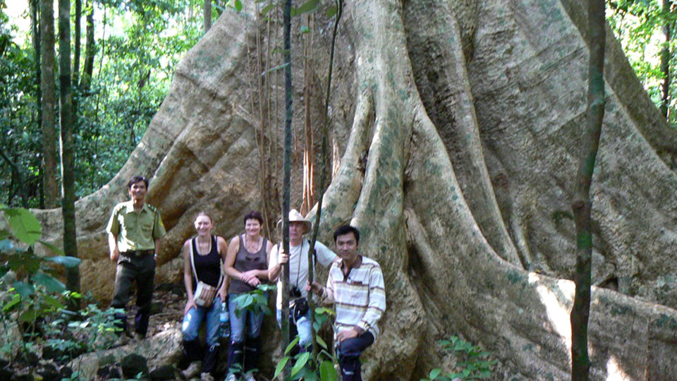 A giant Tung - Tetrameles nudiflora tree in Cat Tien national park