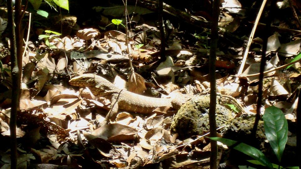 Varanidae - Cat Tien national park hiking