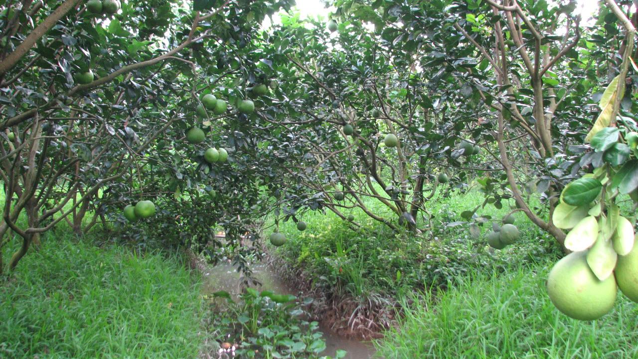 Mekong delta tours - CanTho fruit orchard